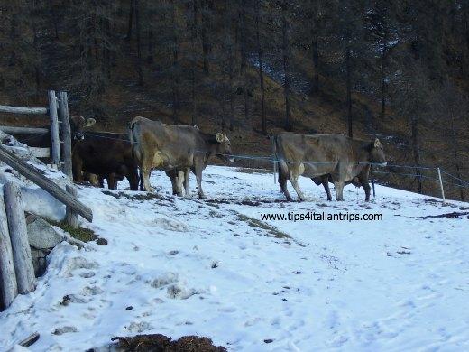 Slingia_cow