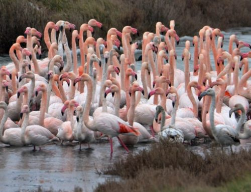 Where to see Flamingos in Italy with kids: exploring Po Delta Park