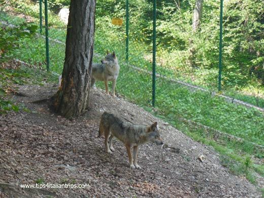 lupi spormaggiore
