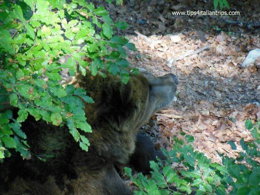 spormaggiore orso